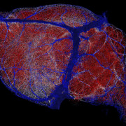 Food for Thought: New Maps Reveal How Brains are Kept Nourished