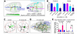 Scientists Use Geometry to Track Cell Migrations