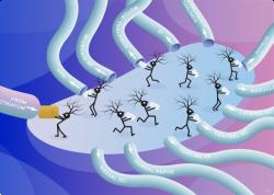 New Blueprint of Brain Connections Reveals Extensive Reach of Central Regulator